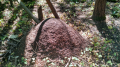 Big ant mound in woods behind my house